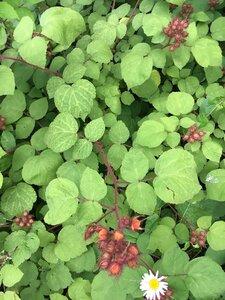 Rubus phoenicolasius - Theo Witsell