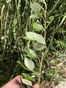 Rubus serissimus - Dwayne Estes