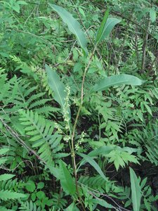 Rumex verticillatus - Tara Littlefield