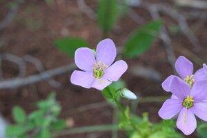 Sabatia angularis - Ashley B. Morris
