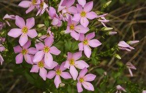 Sabatia angularis - Margie Hunter