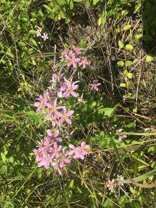 Sabatia angularis - Tara Littlefield