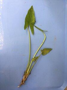 Sagittaria latifolia var. latifolia - Joey Shaw