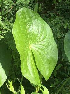 Sagittaria latifolia var. latifolia - Milo Pyne