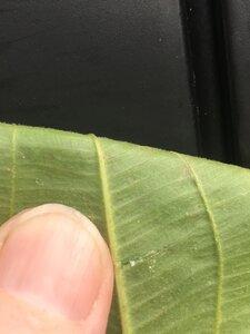 Sagittaria latifolia var. latifolia - Theo Witsell