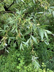 Salix alba - Dwayne Estes