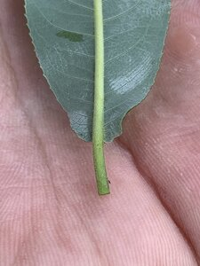 Salix caroliniana - Dwayne Estes