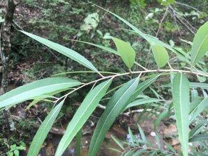Salix caroliniana - Theo Witsell