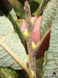 Salix humilis - Dwayne Estes