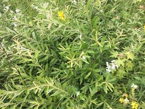 Salix humilis - Theo Witsell