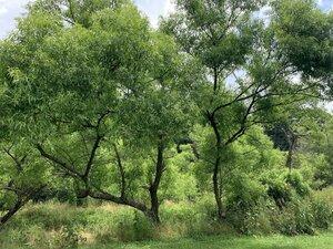 Salix nigra - Dwayne Estes