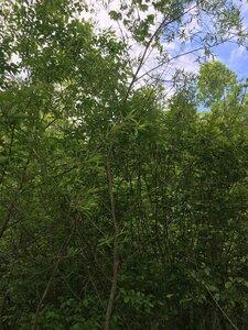 Salix nigra - Joey Shaw