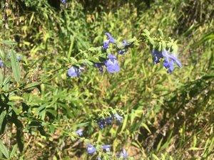 Salvia azurea var. grandiflora - Theo Witsell