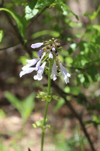 Salvia lyrata - Ashley B. Morris