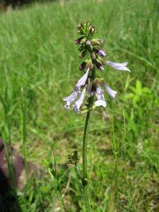 Salvia lyrata - Tara Littlefield
