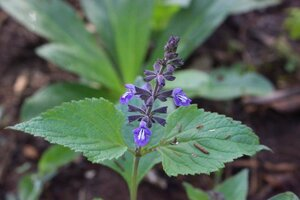 Salvia urticifolia - Ashley B. Morris