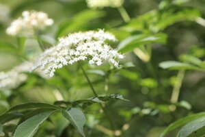 Sambucus canadensis - Ashley B. Morris
