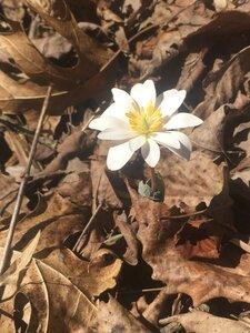 Sanguinaria canadensis - Tara Littlefield