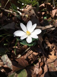 Sanguinaria canadensis - Theo Witsell