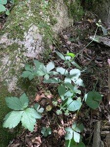 Sanicula trifoliata - Dwayne Estes