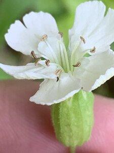 Saponaria officinalis - Dwayne Estes