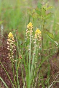 Schoenolirion croceum - Ashley B. Morris