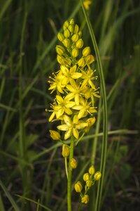 Schoenolirion croceum - Margie Hunter