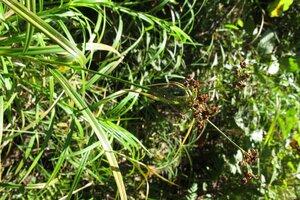 Scirpus polyphyllus - Milo Pyne