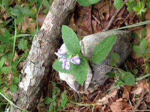Scutellaria elliptica - Milo Pyne