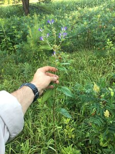 Scutellaria incana var. incana - Joey Shaw