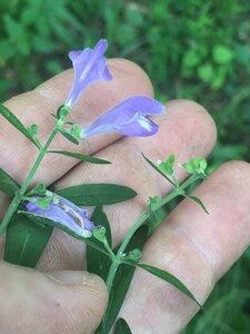 Scutellaria integrifolia - Joey Shaw