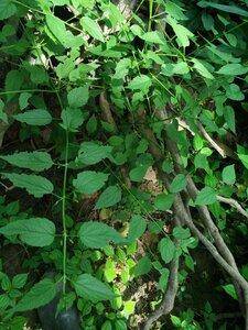 Scutellaria lateriflora - Tara Littlefield