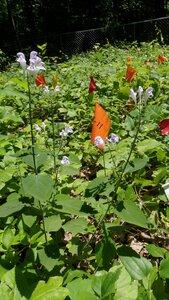 Scutellaria montana - Joey Shaw