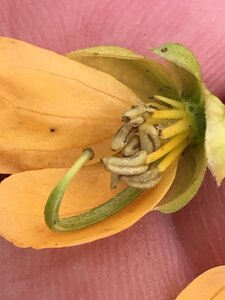 Senna obtusifolia - Joey Shaw