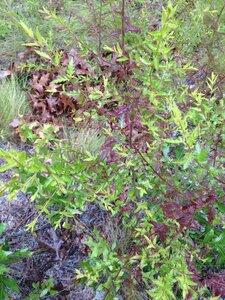 Seymeria cassioides - Milo Pyne