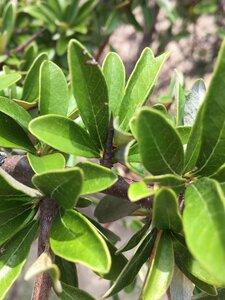 Sideroxylon lanuginosum ssp. oblongifolium - Dwayne Estes