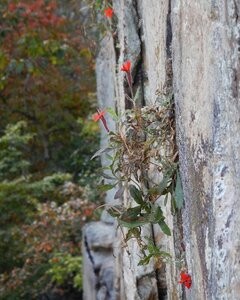 Silene rotundifolia - Alaina Krakowiak