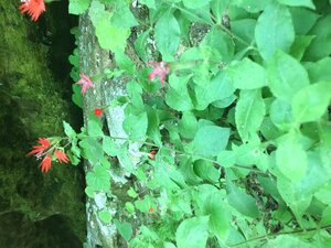 Silene rotundifolia - Hunter Shaw