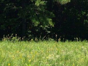Silphium laciniatum - Dwayne Estes