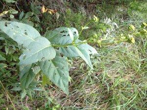 Silphium perfoliatum - Milo Pyne