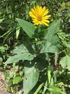 Silphium perfoliatum - Tara Littlefield