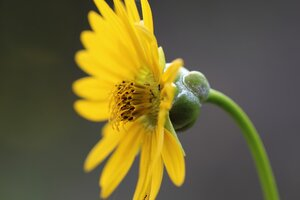 Silphium pinnatifidum - Ashley B. Morris