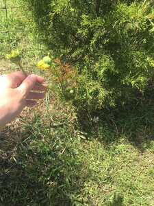 Silphium pinnatifidum - Tara Littlefield