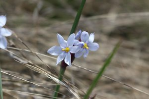 Sisyrinchium albidum - Ashley B. Morris