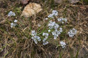Sisyrinchium albidum - Margie Hunter