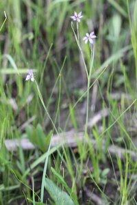 Sisyrinchium atlanticum - Dwayne Estes