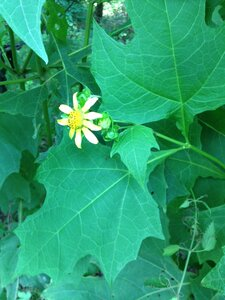 Smallanthus uvedalia - Milo Pyne