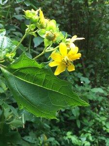 Smallanthus uvedalia - Tara Littlefield