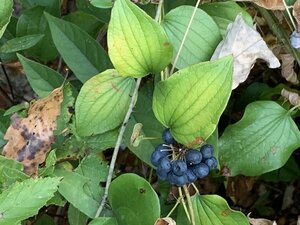 Smilax herbacea - Dwayne Estes