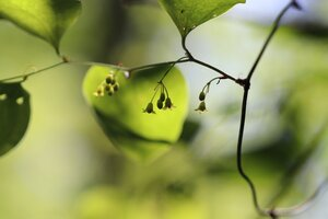 Smilax rotundifolia - Ashley B. Morris